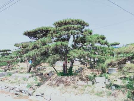景觀松基地培育樹木的常用技術