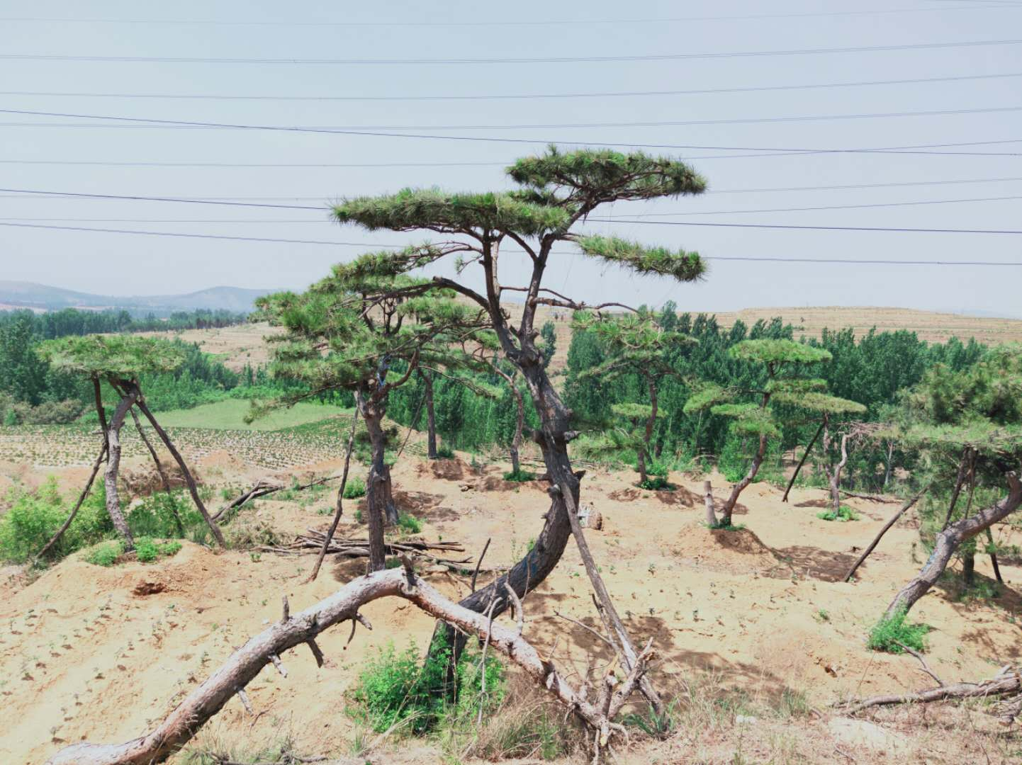 不同的泰山景观松幼苗有不同的施肥量