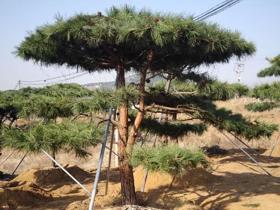 及时切断泰山景观松的死枝有什么好处?