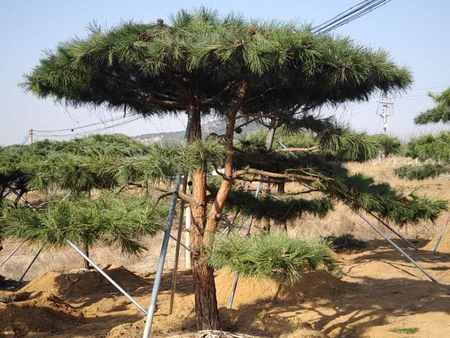 防治病蟲害有利于造型油松的生長