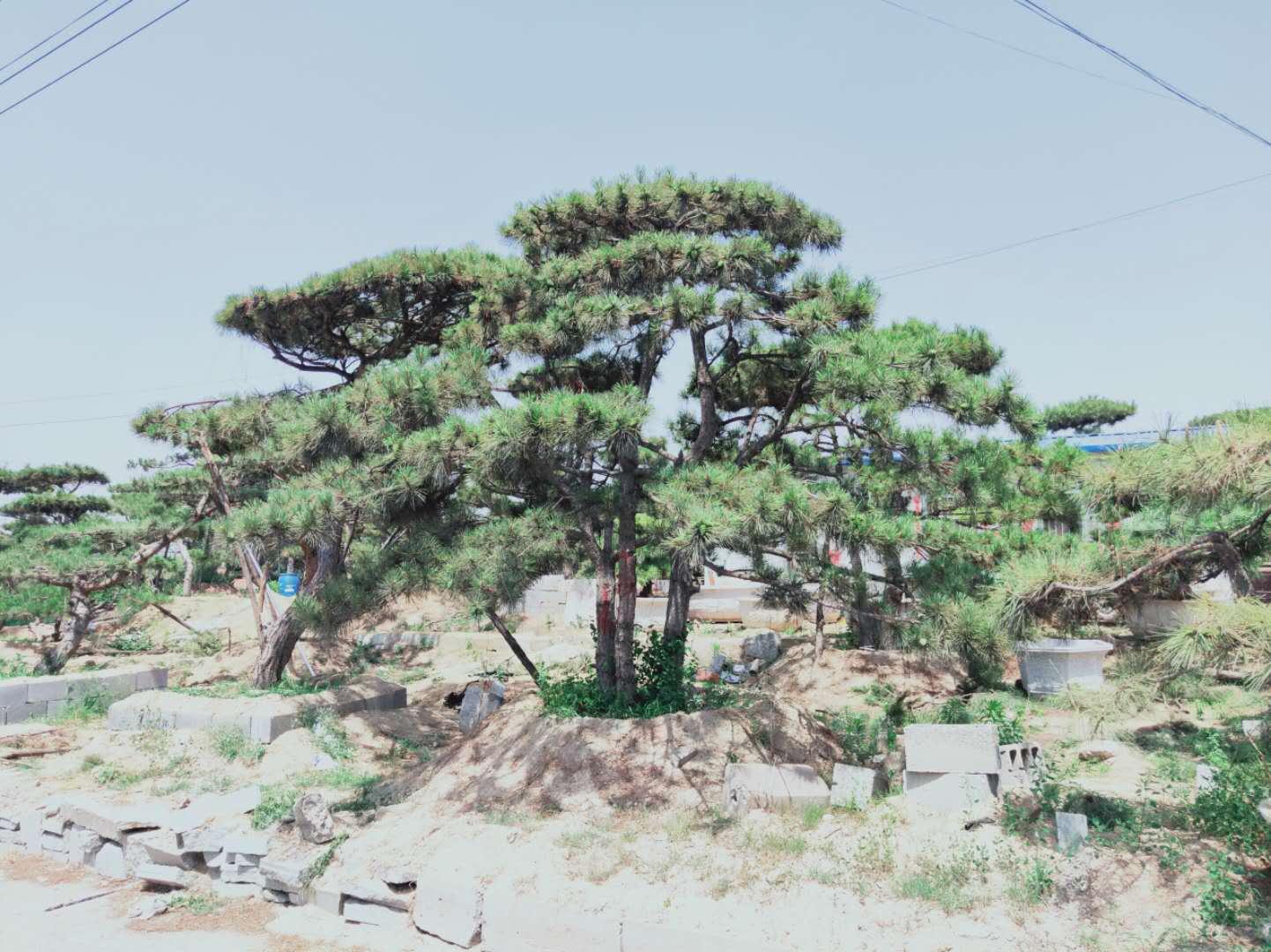 種植造型油松要注意些什么?