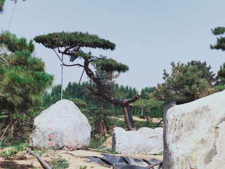 对于树木修剪造型,造型松基地很在行