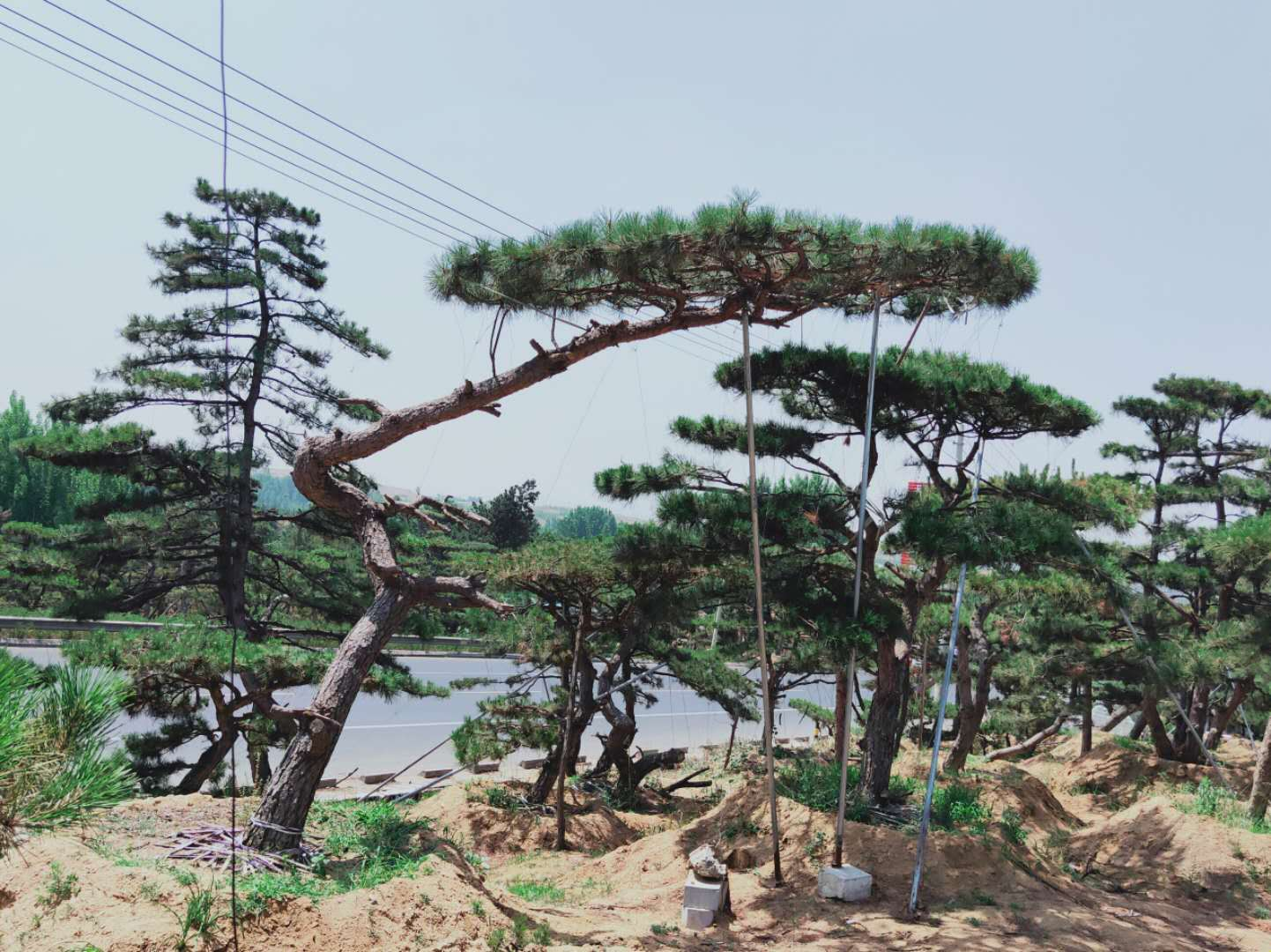 泰山迎客松种植的土壤有什么要求