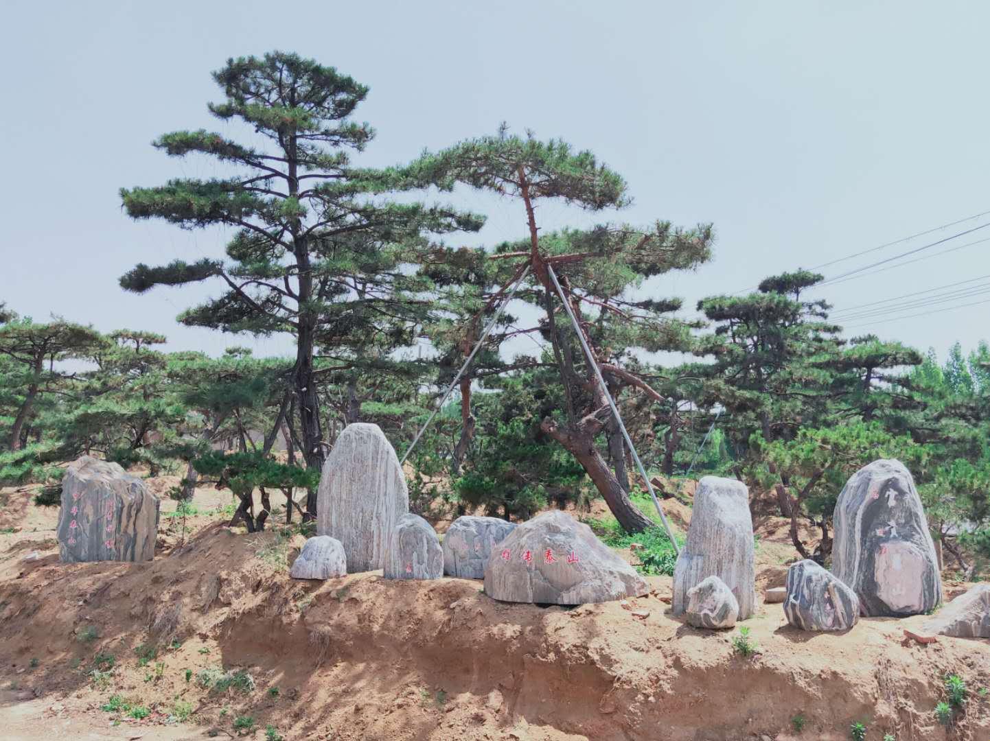 褐斑病后期会使造型松树的树干出现褐色斑点