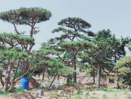 萊蕪造型油松移栽時需要帶土球移栽