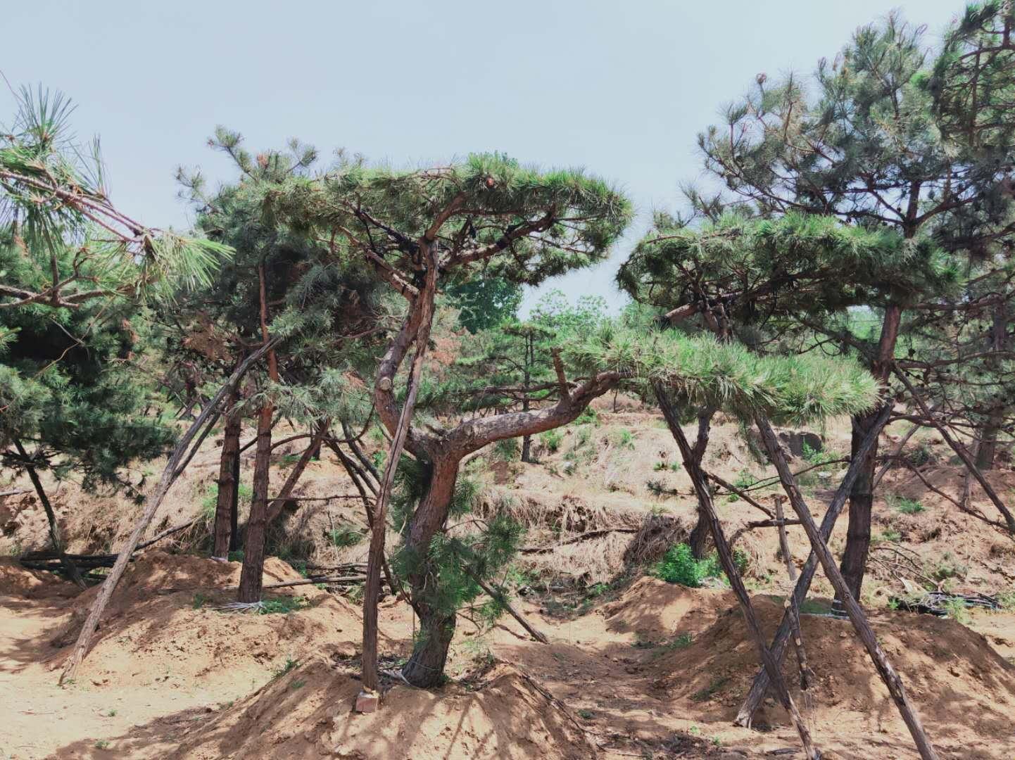 蚂蚁会啃食泰山景观松的根,导致整株死亡