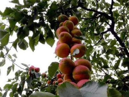 串枝红杏树苗