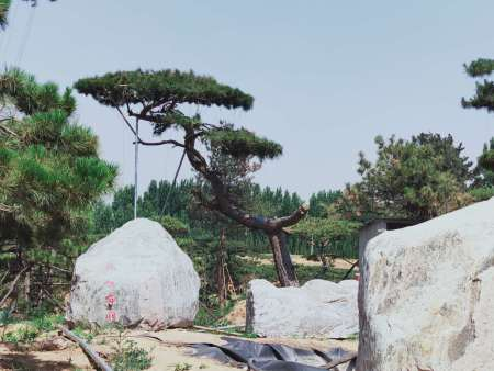 造型黑松树要做好适当修剪和及时杀虫工作