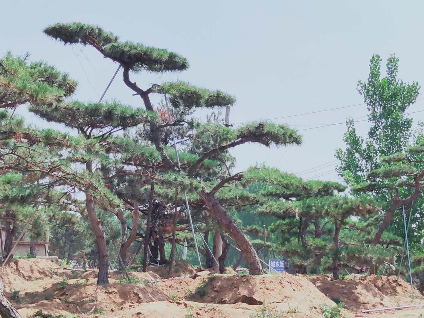如何養護泰山景觀松的土壤減少病蟲害
