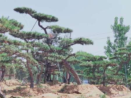 景观松基地需要严格控制生长期的苗木