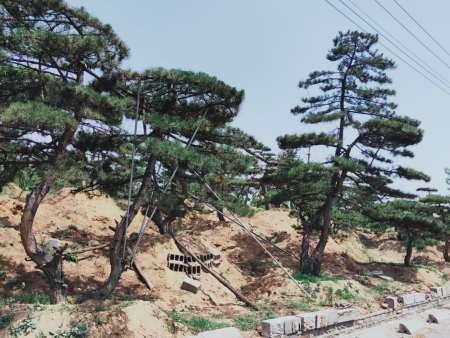 冬季防止造型黑松遭受冻害的几项措施