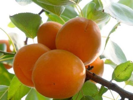 金太阳杏树苗