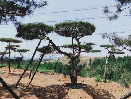 移栽造型松成活的主要内在条件是树势平衡