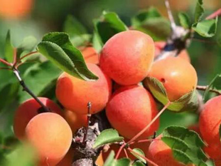 晚红杏树苗