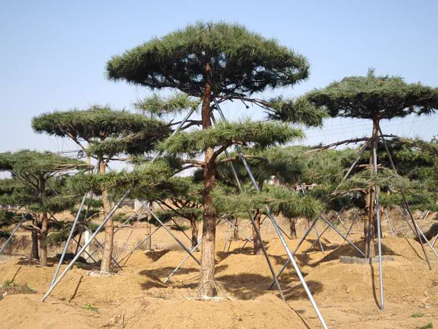 种植造型松树过程中需要注意病虫害防治工作