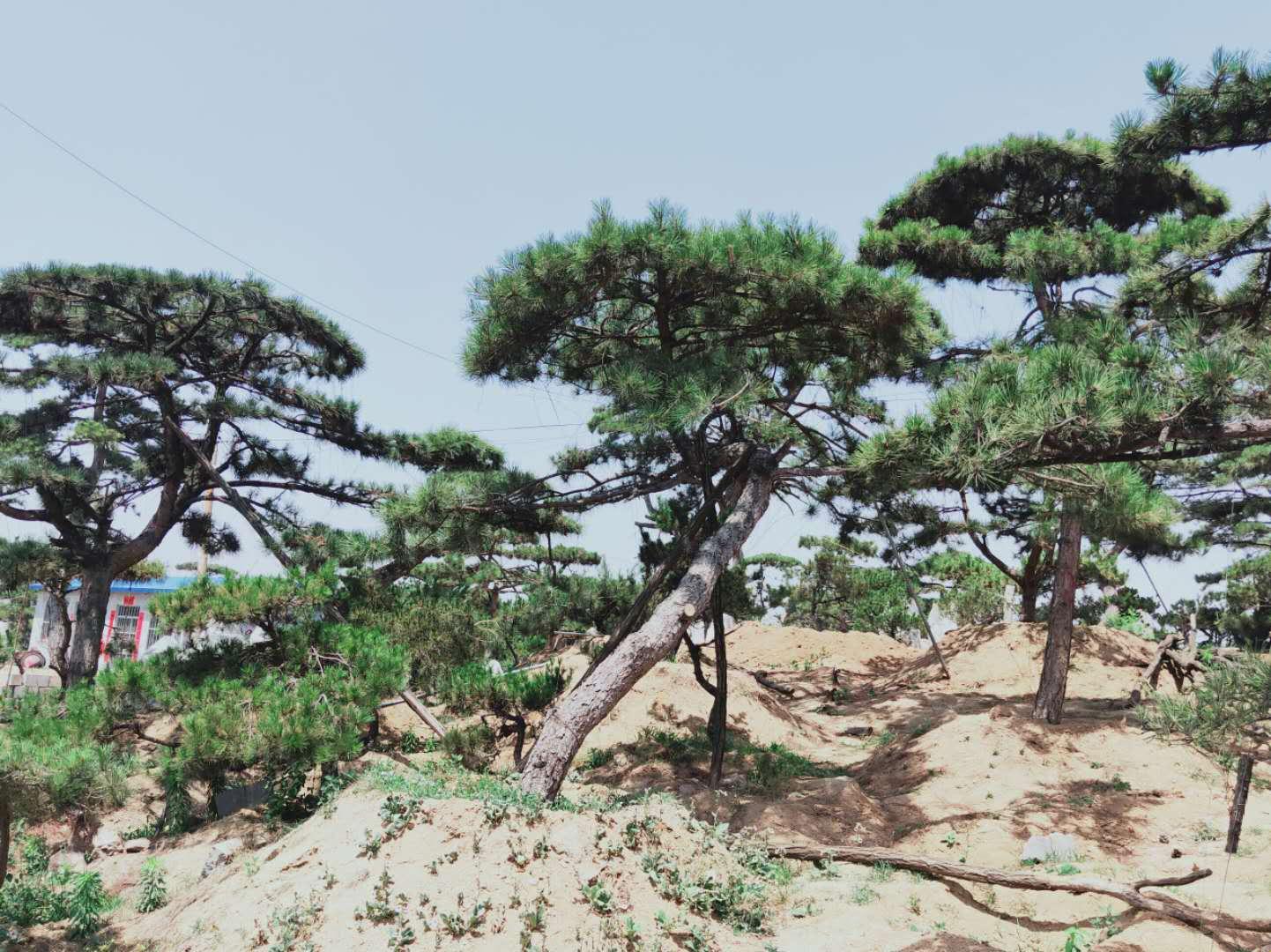 造型松树移栽的成活率可通过科学管理来提高