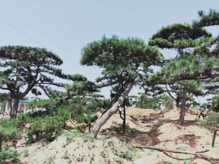 維持水分平衡使黑松造型樹正常生長