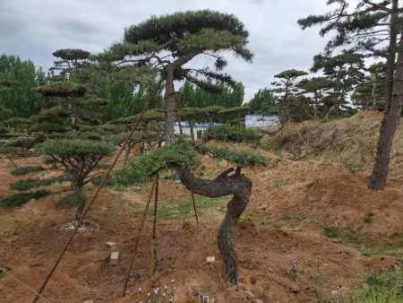 种植造型松要选择较为肥沃疏松的沙土壤