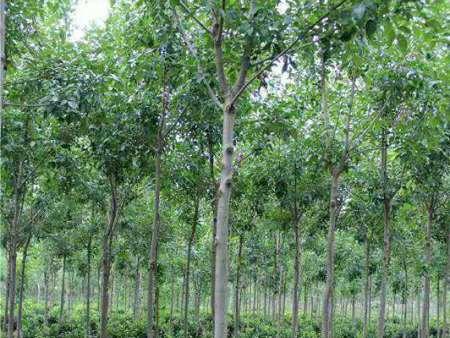 白蠟樹種植栽培技術