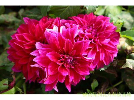 临洮大丽花-大丽花的种植方法