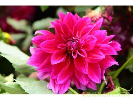 临洮大丽花种植基地-大丽花种植不能触碰的5大禁忌