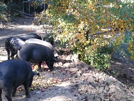 忆农源黑猪和白猪的区别和优势