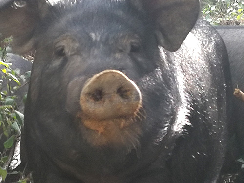 辽宁黑猪的饲养方法