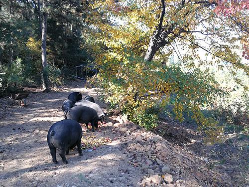 黑猪养殖要点