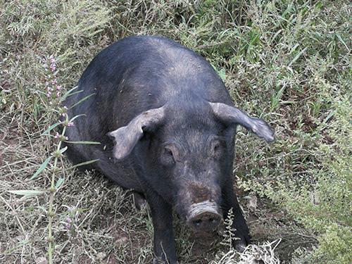 辽宁黑猪肉的营养价值及功效