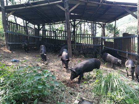 辽宁黑猪的特征特性是什么呢?