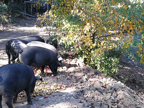 辽宁散养黑猪:受欢迎的黑猪品种是什么