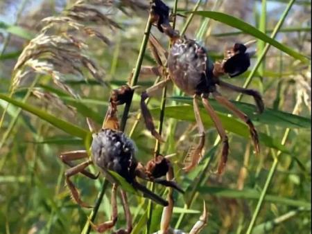 盘锦野生河蟹图片