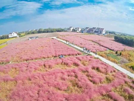 粉黛乱子草的种植方法