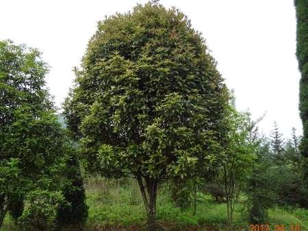 桂花树基地