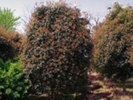 雷火桂花树