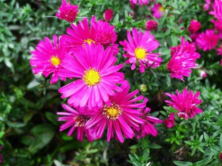 荷兰菊如何进行嫁接栽培