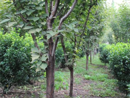 櫻花樹的正確種植方法是什么
