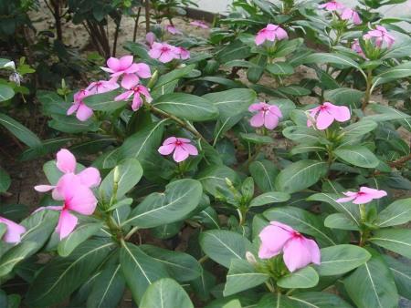 來盛澤花卉了解長春花的簡單介紹