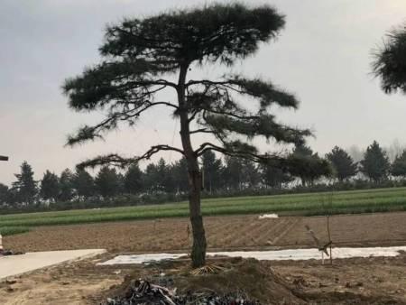 造型黑松栽种在什么地方更妥善
