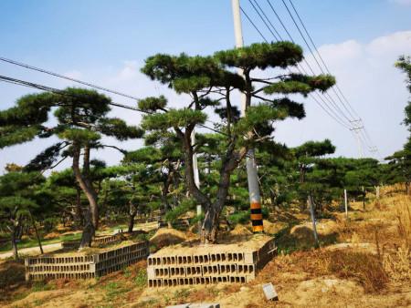 使用科学的修剪技巧可以促进景松的生长