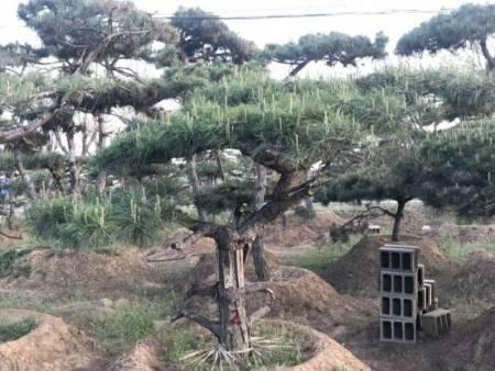 造型黑松在哪种环境中成长好一些