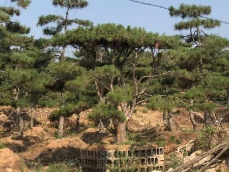 修剪景观松的目的是为了剪去病枝和枯枝来促进生长