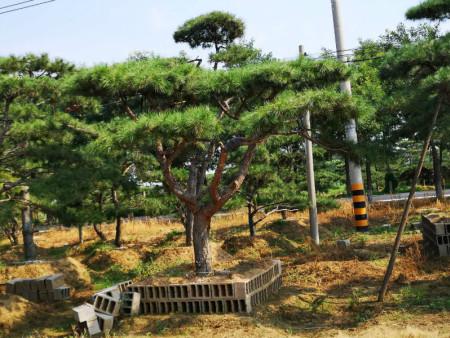 怎样对景松苗木进行有效性的嫁接?