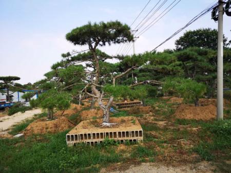下面为您揭秘造型油松的种植方法和技巧