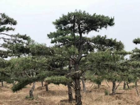 造型黑松的播种育种区要规范化的进行选择
