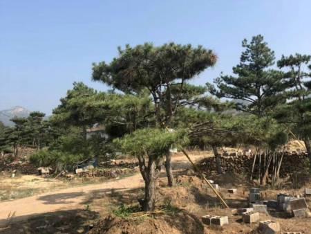 种植造型油松土壤和地块应该如何挑选