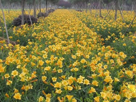 地被宿根花卉的生长条件及用途