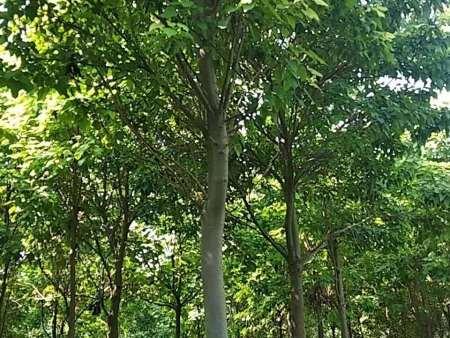 楸樹 韋德國際官網始于1946楸樹