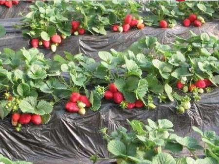 桃熏草莓苗