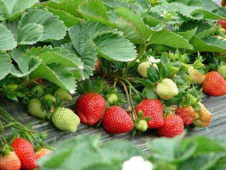 山东桃熏草莓苗